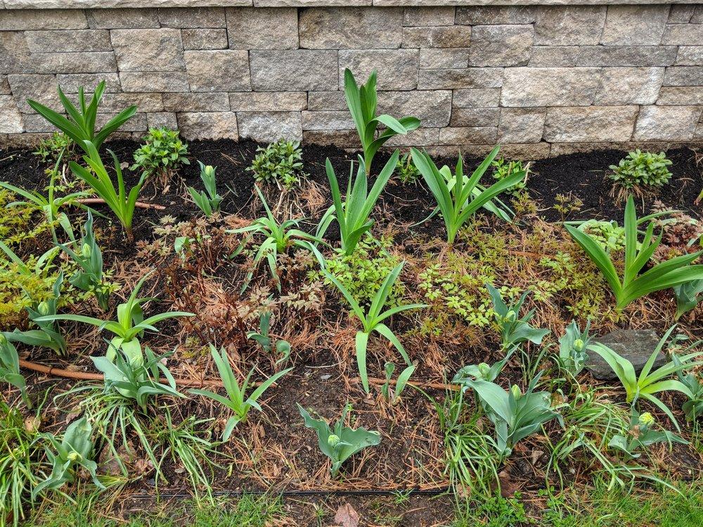 May 4: Bulb foliage has a head start on astilbe