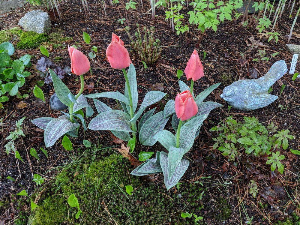 "'Oratorio' tulips emerge early and will later be ""covered"" by heuchera and ferns."