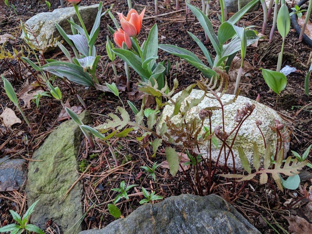 Gregii tulips amid a sea of 'Sensitive' fern