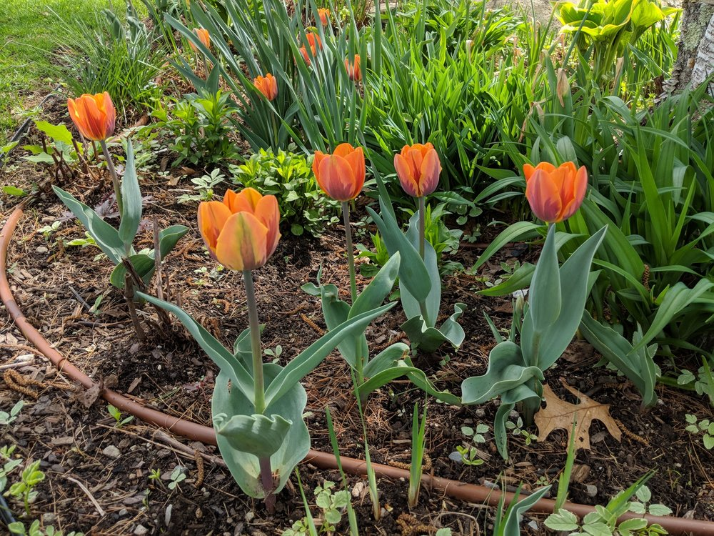 Princess Irene tulips will later be camouflaged by daylily foliage