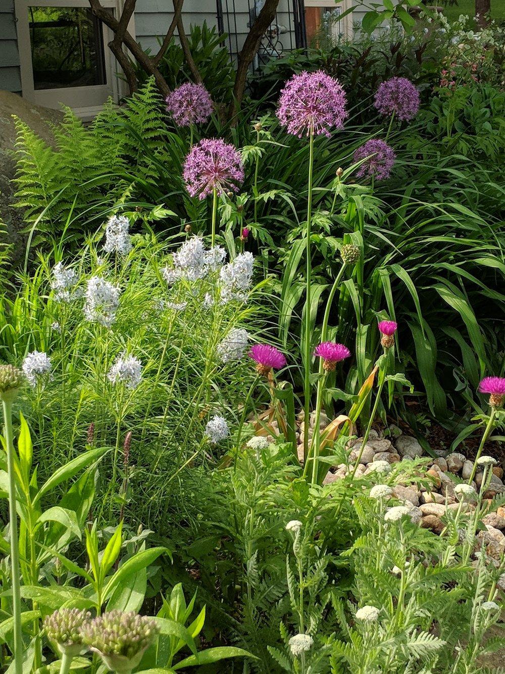 'Purple Sensation' allium towers over amsonia and centaurea
