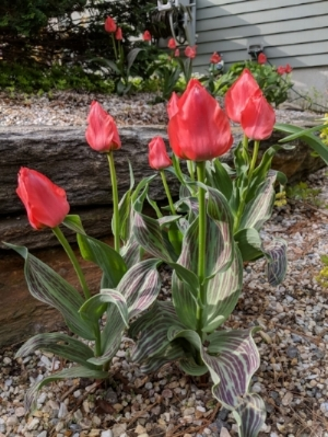 'Oratorio' species tulips brighten the gravel garden. Their foliage will persist long after the blooms are gone.