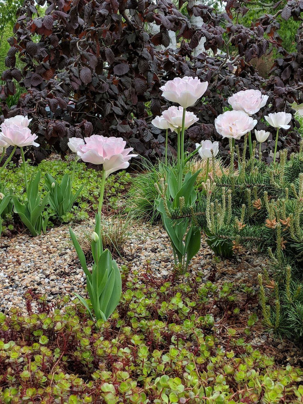 'Angelique' tulips in gravel bed with Harry Lauder Walking Stick tree