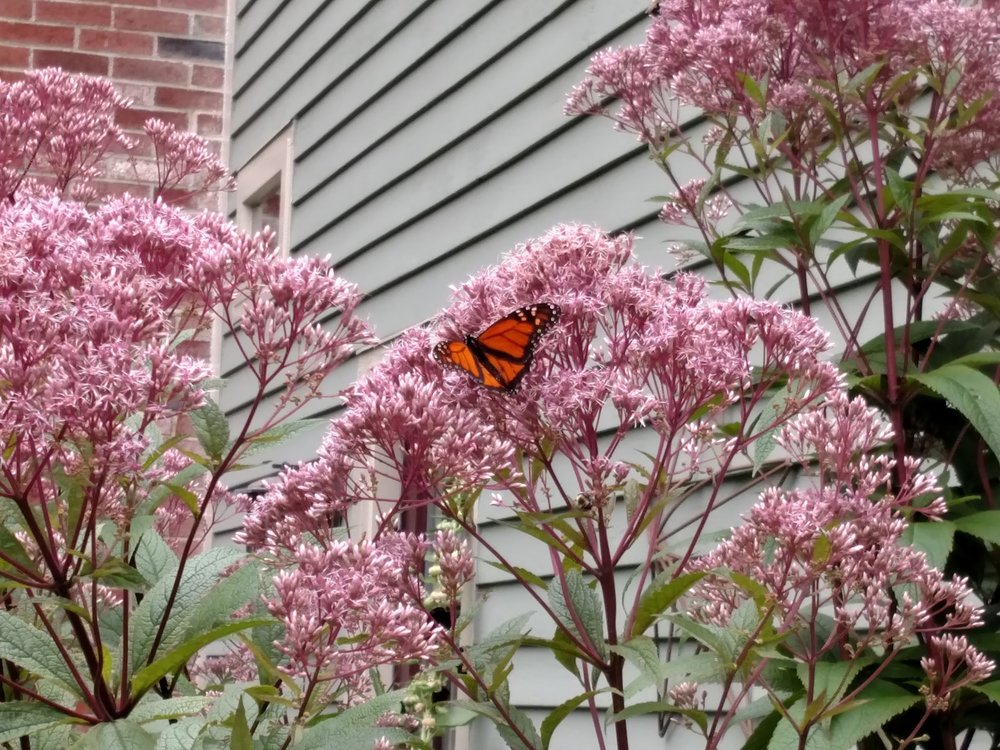 2017-08-15-monarch-joe-pye-weed.jpg