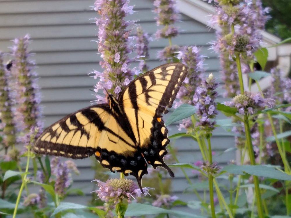 2016-08-04-swallowtail.jpg