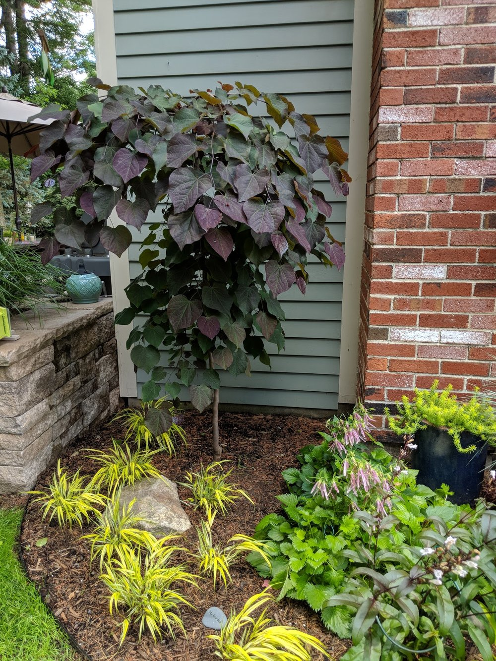 'Ruby Falls' redbud and 'Pink Octopus' campanula have settled nicely into their new home.