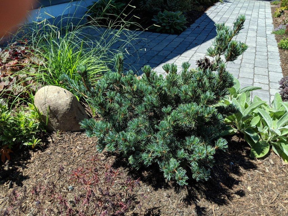 Dwarf white pine 'Koru'