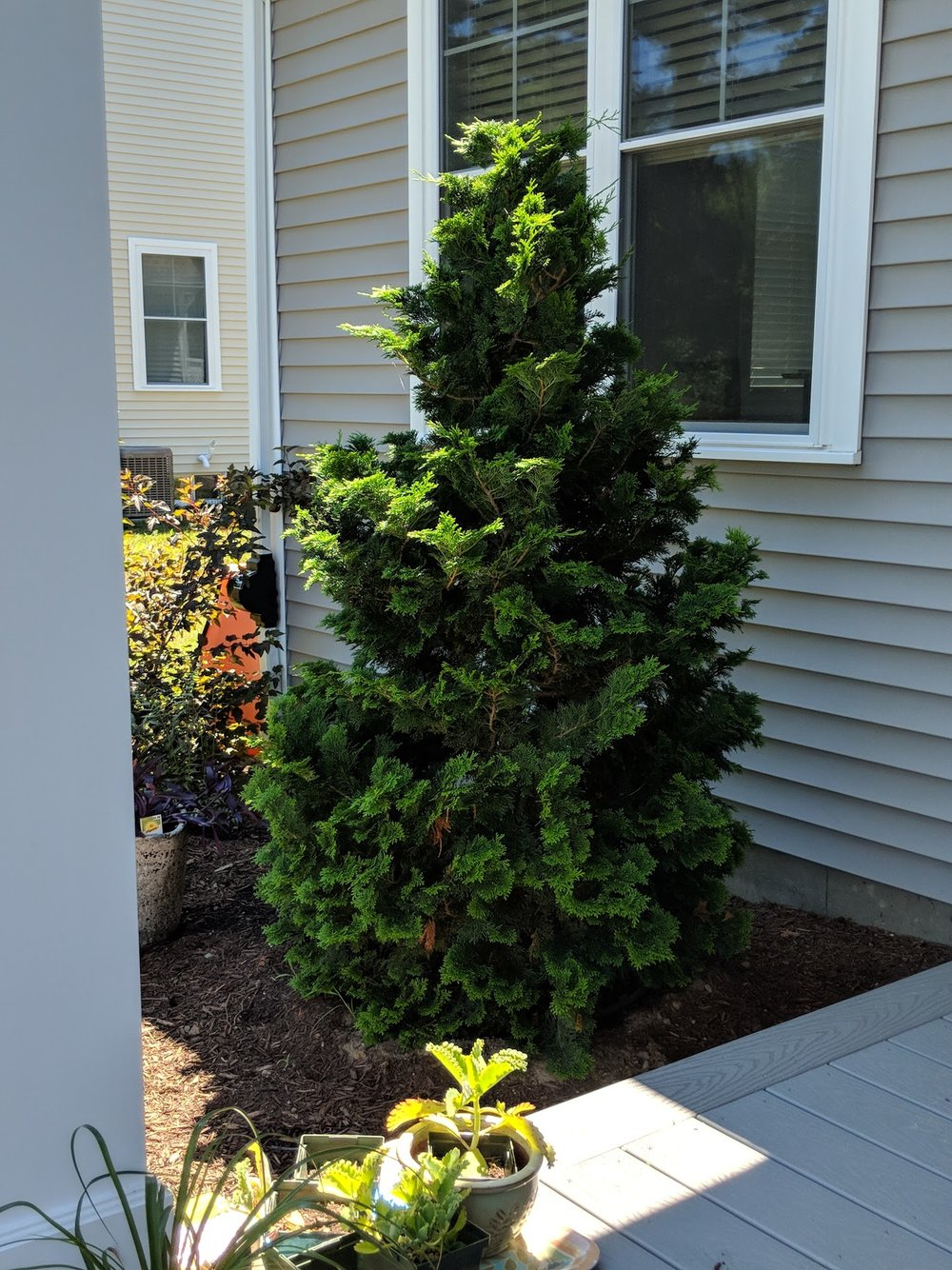 Hinoki cypress anchors corner by porch