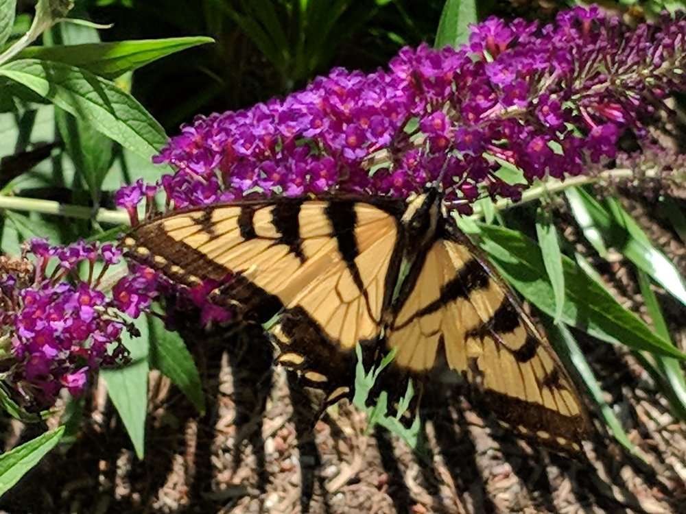 Swallowtail butterfly on Buddleia (butterfly bush)