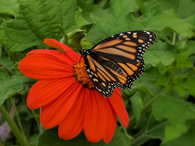 Monarch butterfly on tihonia plant