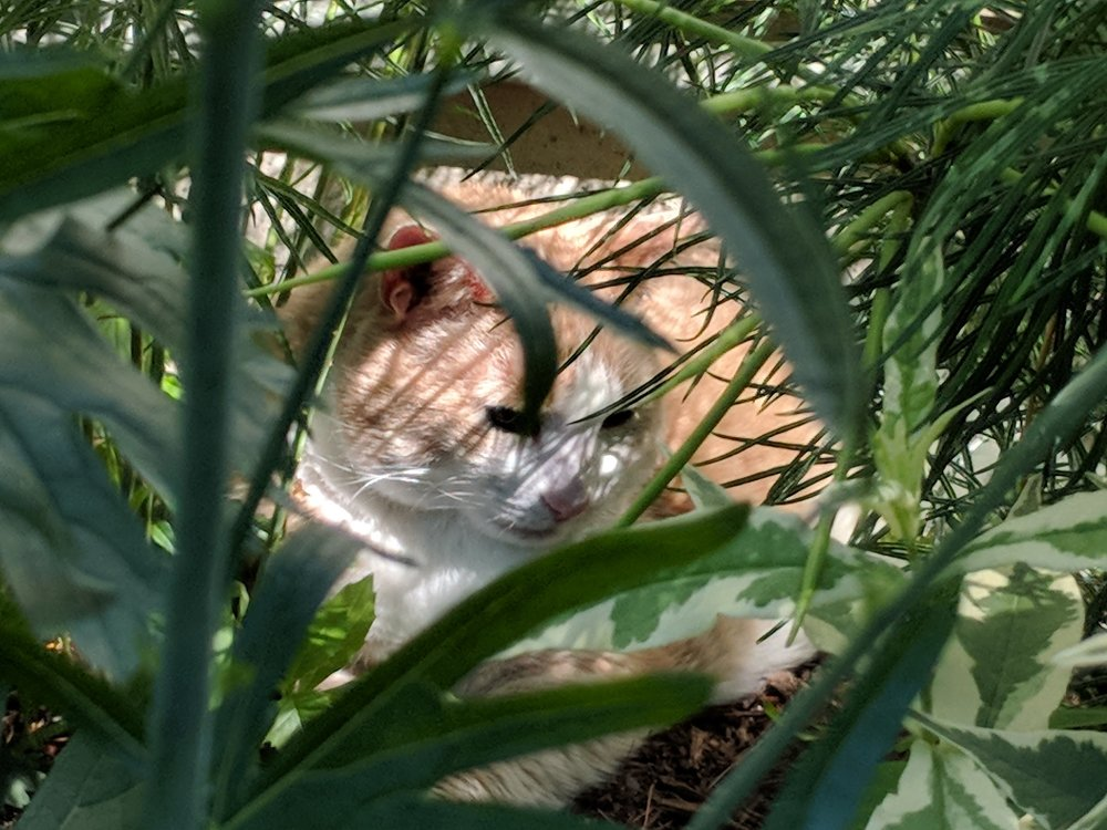 Harry the house cat in a favorite hiding place in the garden