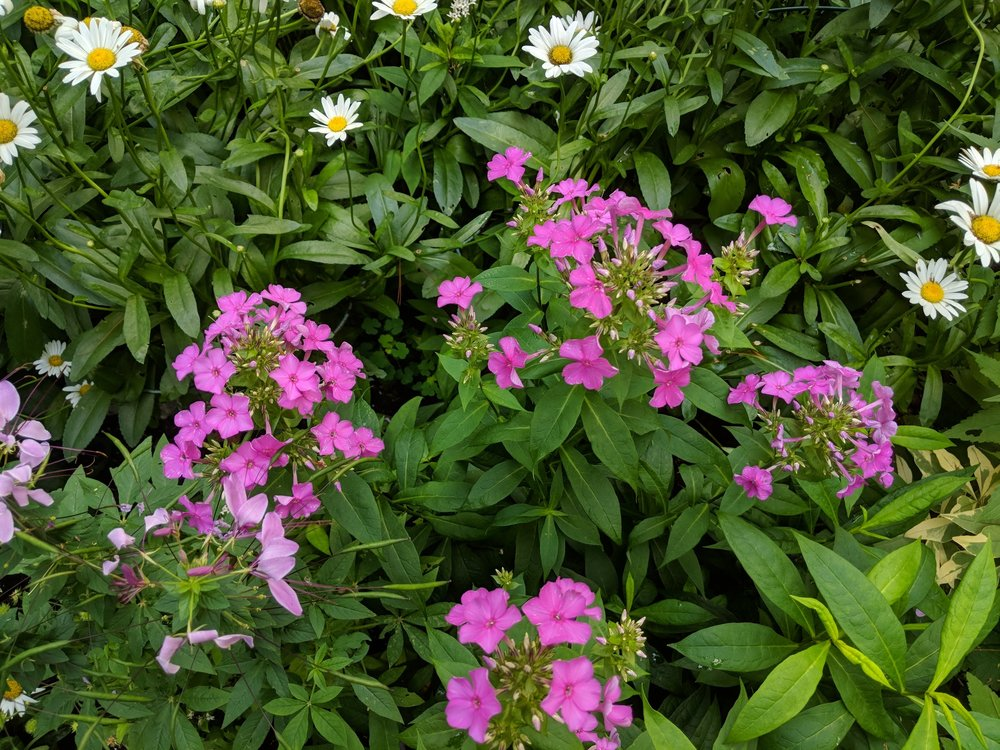 Phlox paniculata, possibly 'Forever Pink' mildew-free and growing among pink Cleome and Shasta Daisies