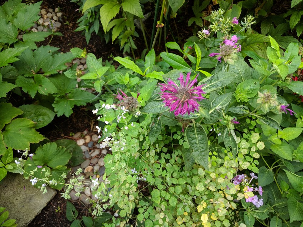 Monarda 'Marshall's Delight' growing among Phlox and Thalictrum (meadow rue)