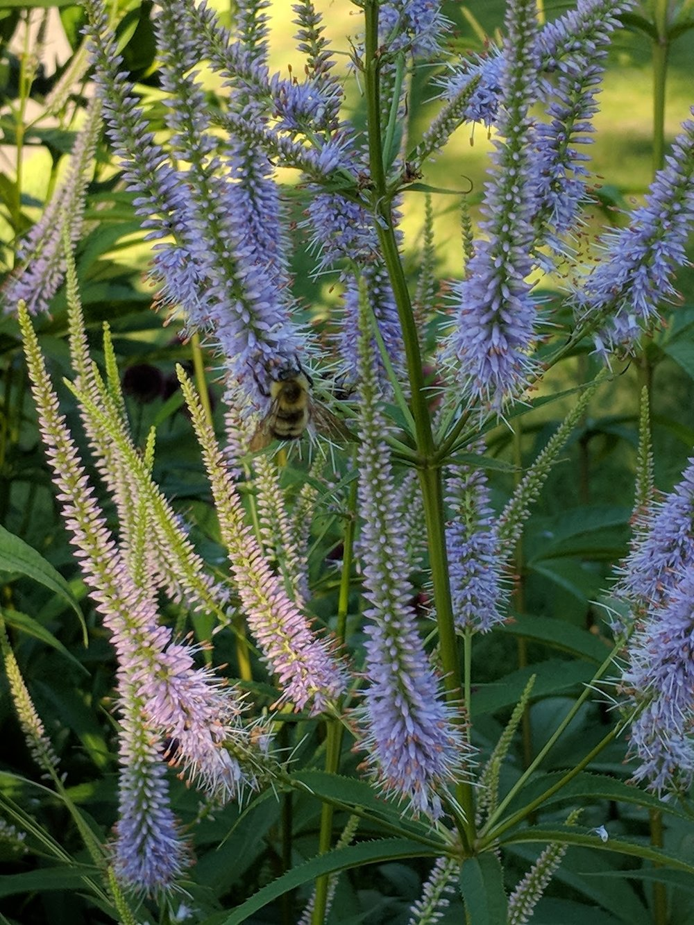 Bumblebee enjoys fresh Veronicastrum 'Fascination' blossoms