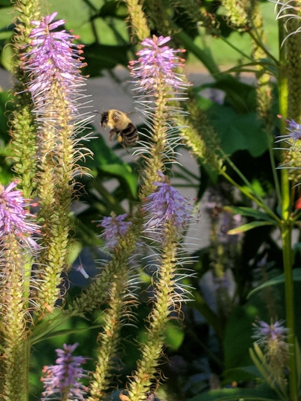 Bumblebee landing on its favorite plant!