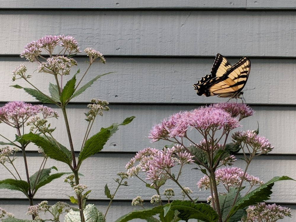 Swallowtail is a frequent visitor