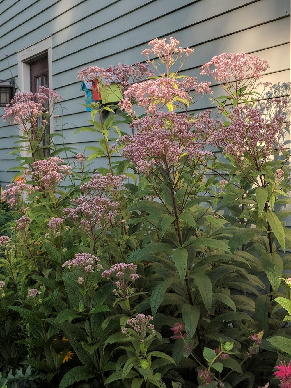 Joe Pye Weed inflorescence