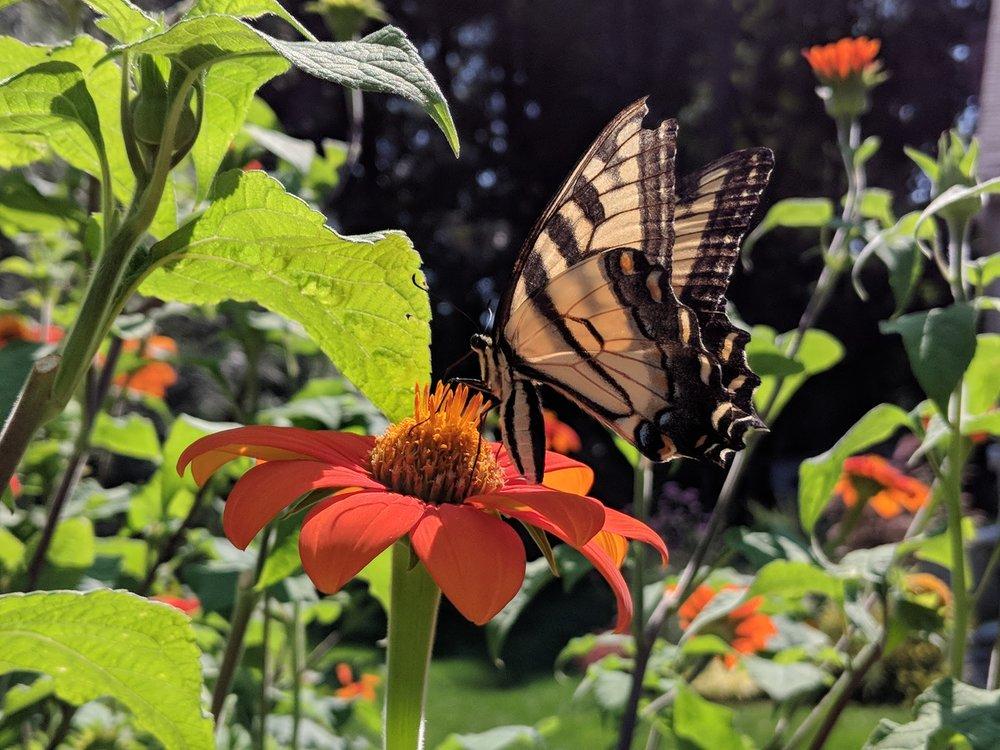 2018-08-24-tithonia-swallowtail.jpg