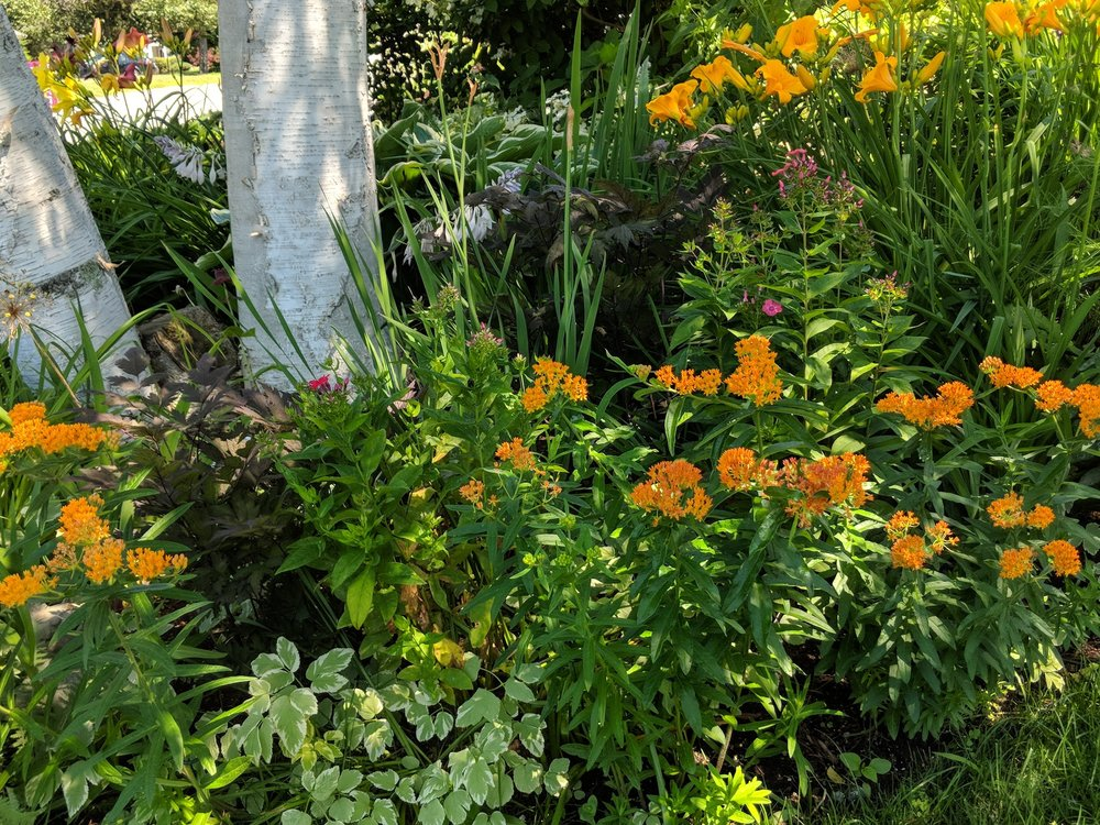Orange asclepias tuberosa with purple leaved actae