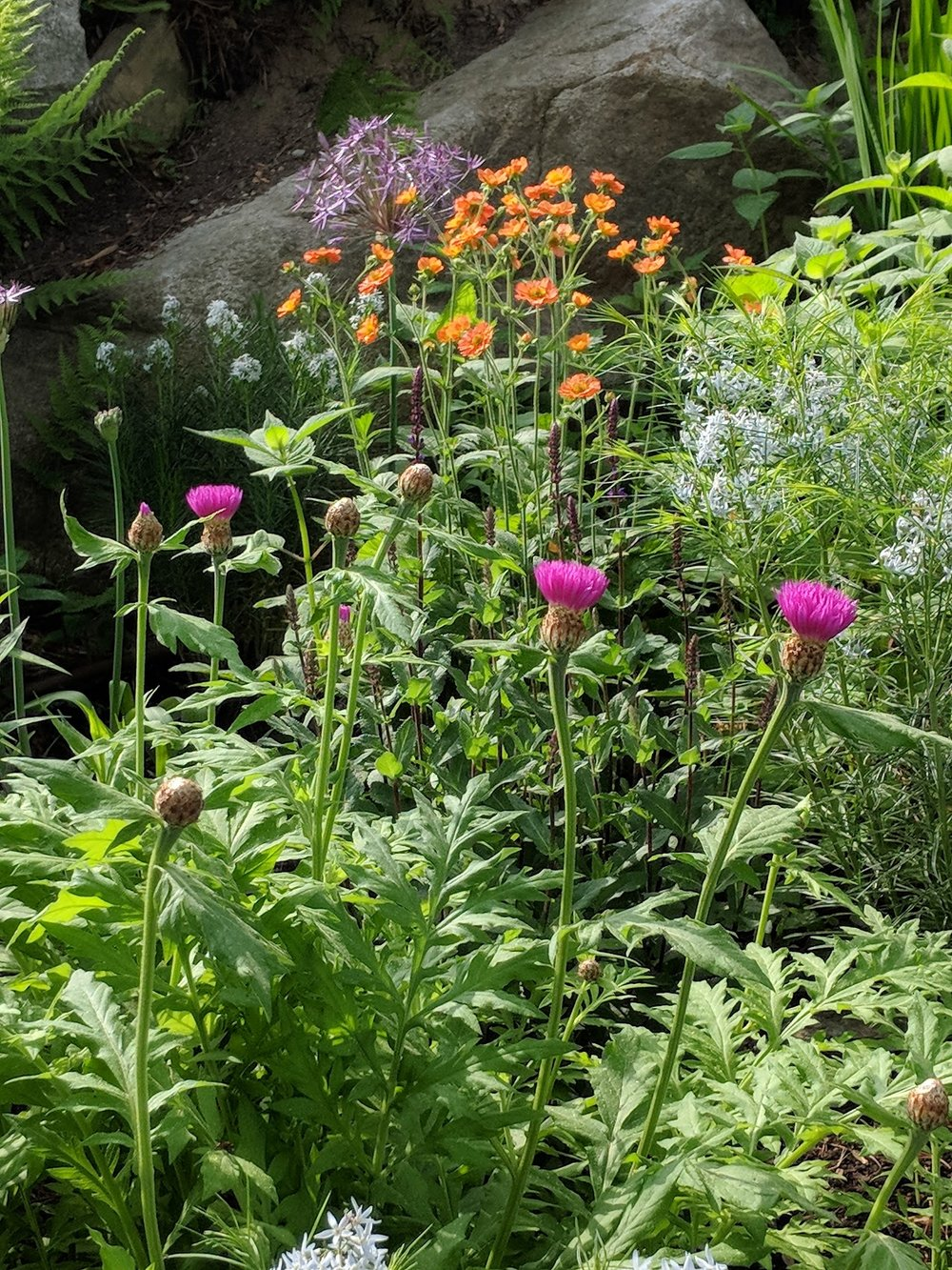 Knapweed, amsonia, geum & allium