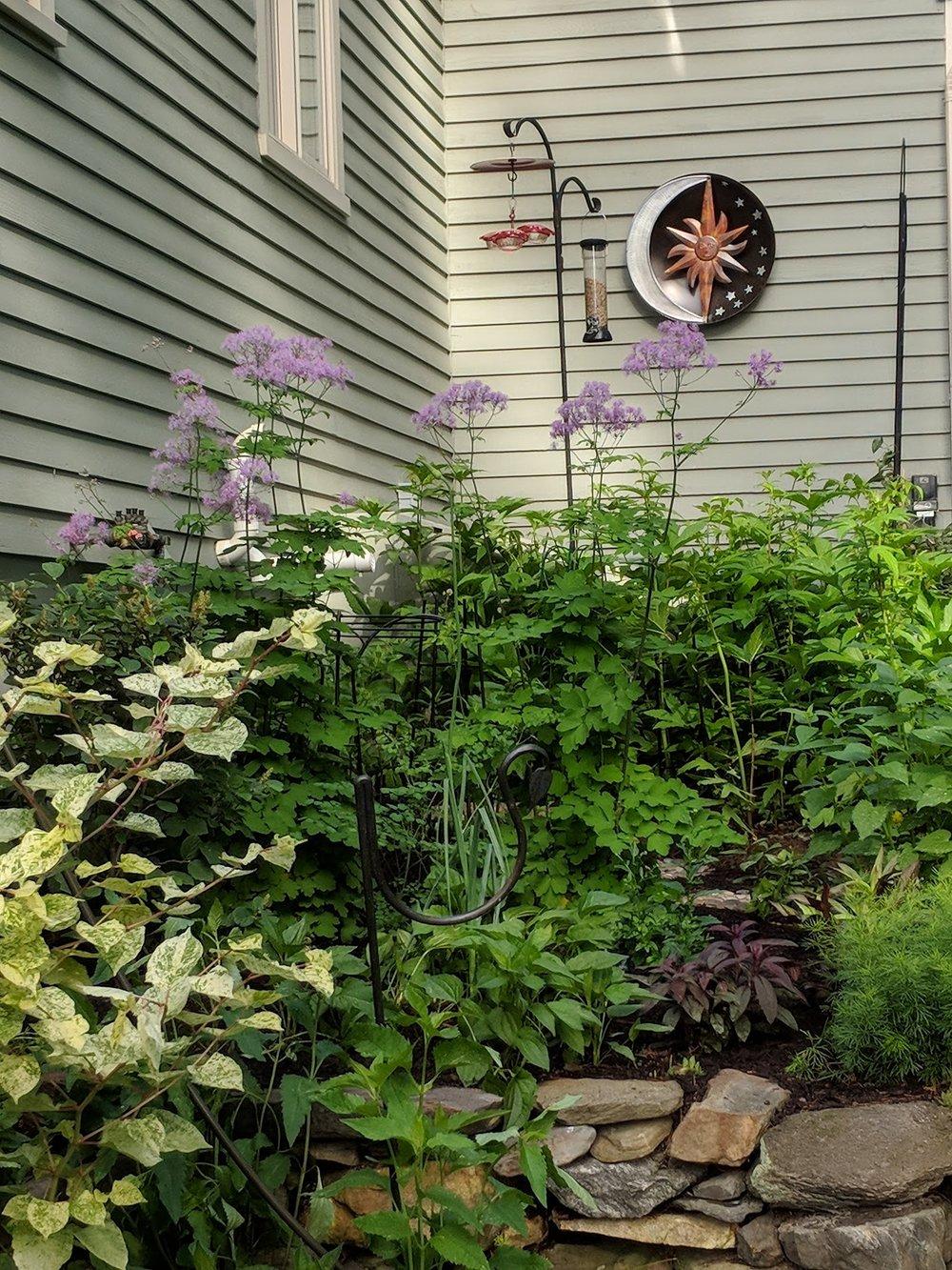 June 3: Thalictrum aqualegiifolium (meadow rue) provides early color