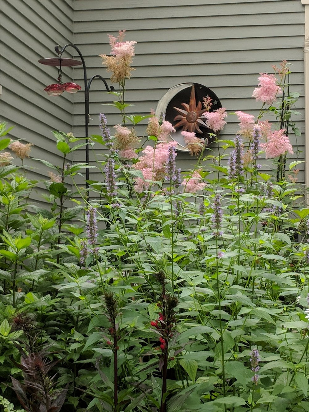 July 16: Pink Filipendula 'Queen of Prairie and purple Agastache 'Black Adder' take a turn
