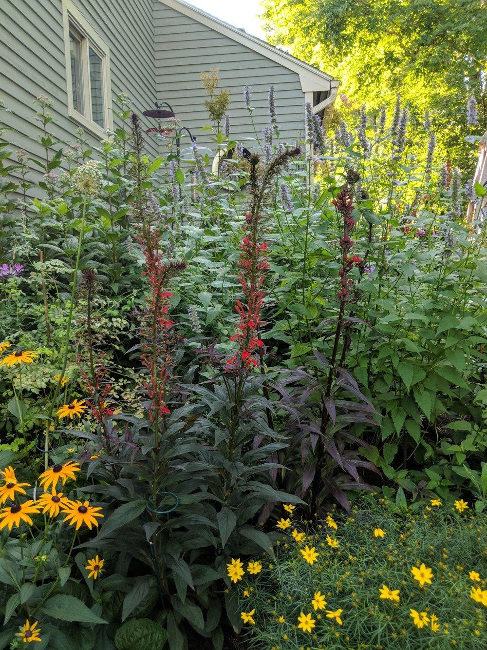 Jul 30: Lobelia cardinalis' red spikes feed hummingbirds and bumblebees