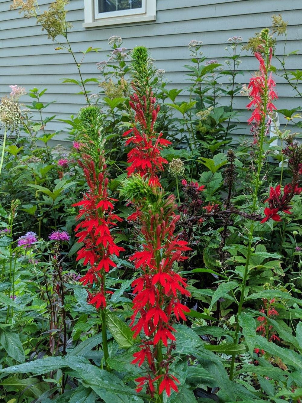 Aug 6: Lobelia cardinalis (green leaf and purple leaf varieties) keep hummingbirds in the garden for hours