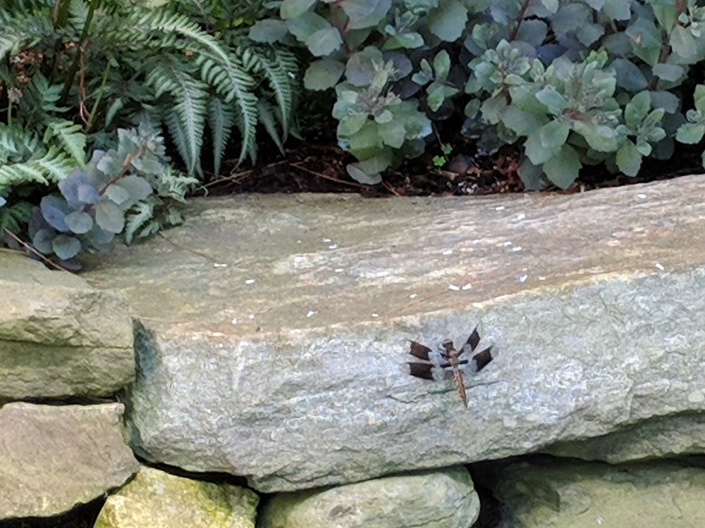 Jul 16: Dragonfly on rock wall with purple sedum and ferns