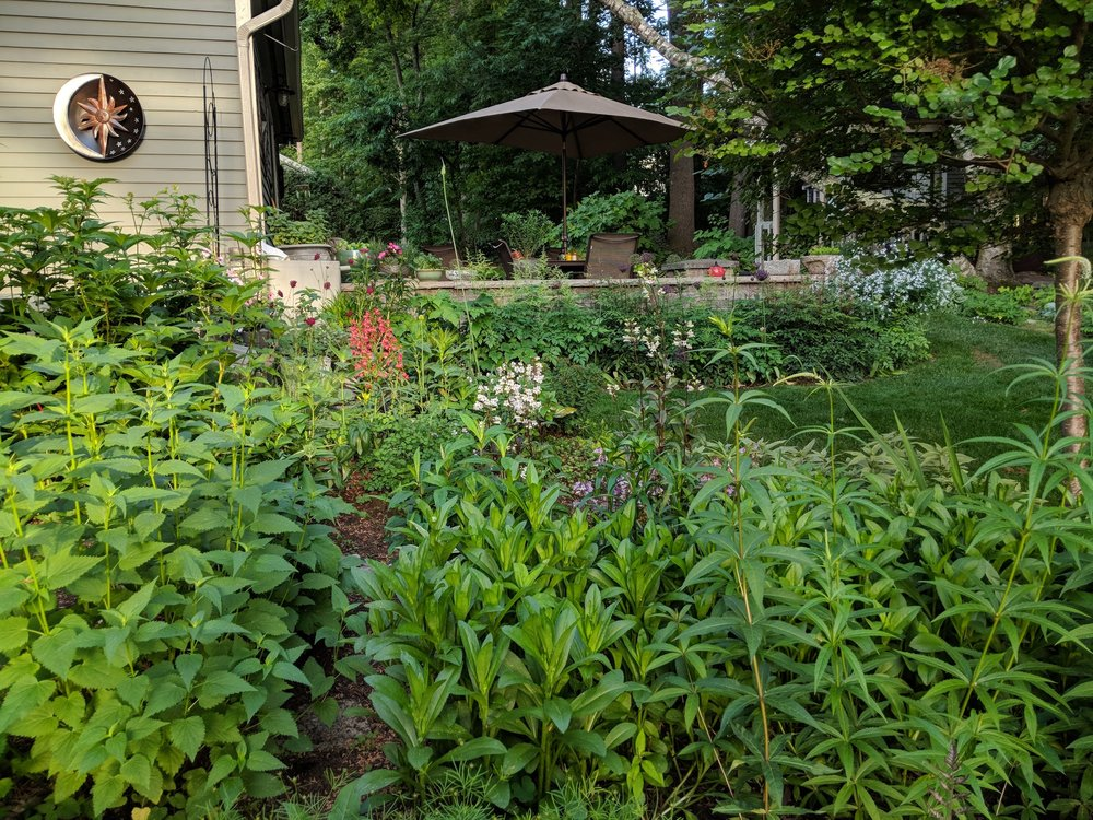 June 17: Penstemon and Knautia make an appearance