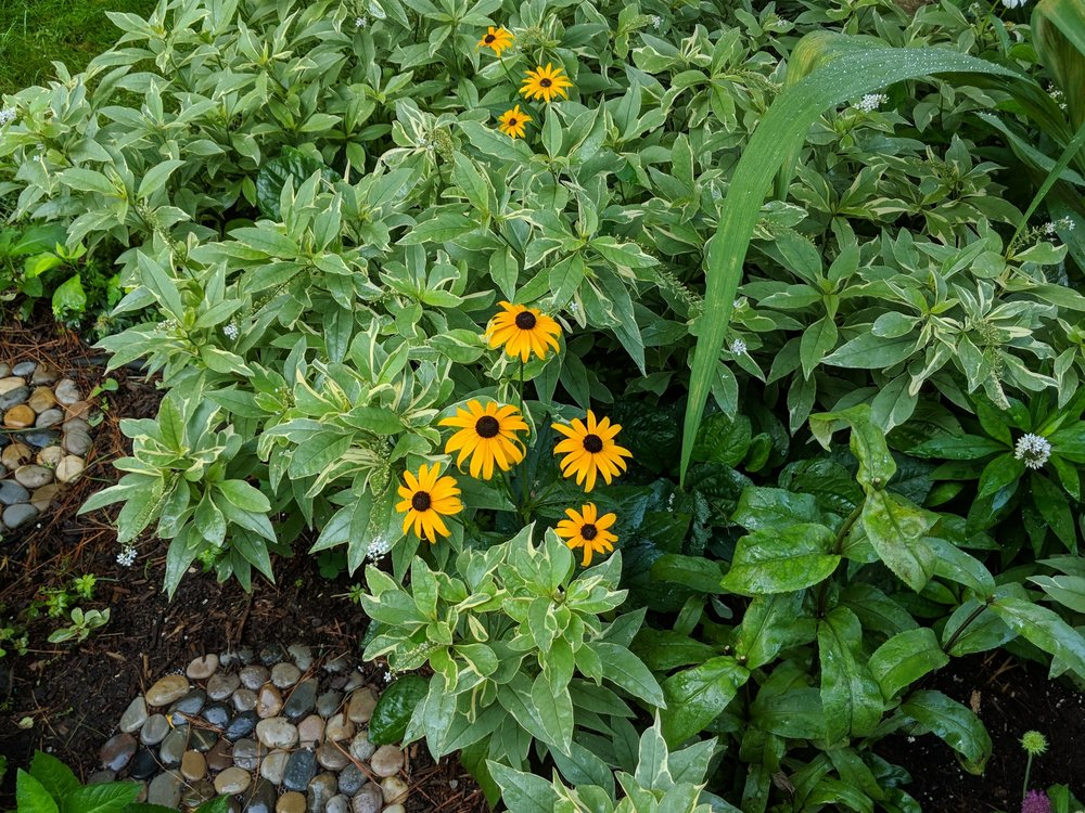 Aug 6: Black-eyed Susans are one of the few plants hardy enough to withstand interplanting with Lysimachia 'Gooseneck Loosestrife'