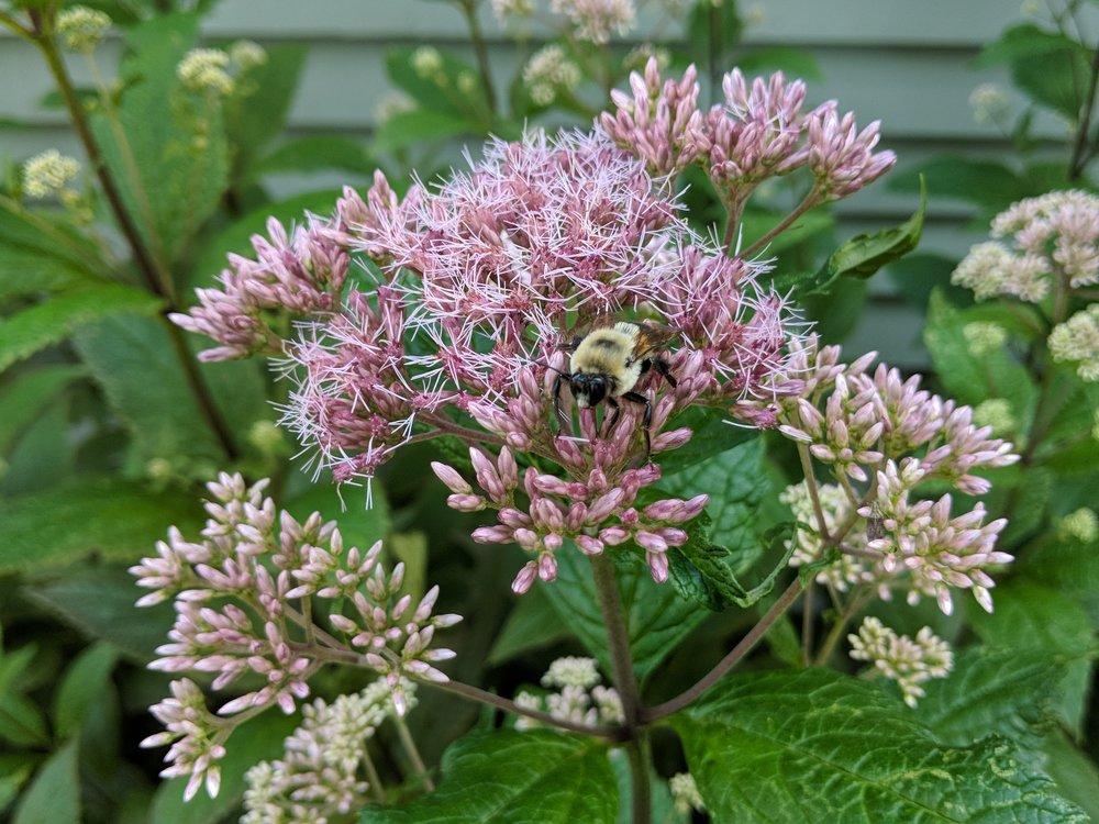 Aug 6: Joe Pye Weed inflorescence with bumblebee