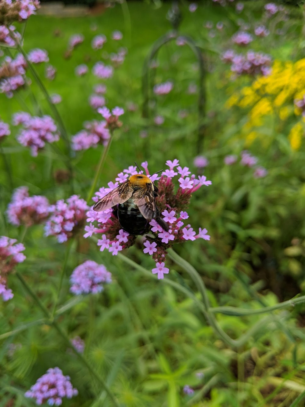 Huuuuge Carpenter Bee gorges on Verbena nectar