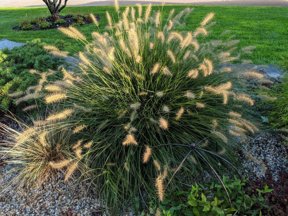 Pennisetum 'Hameln', glows in morning light