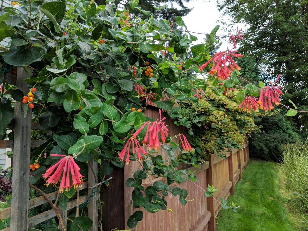 Trumpet honeysuckle blooms & berries