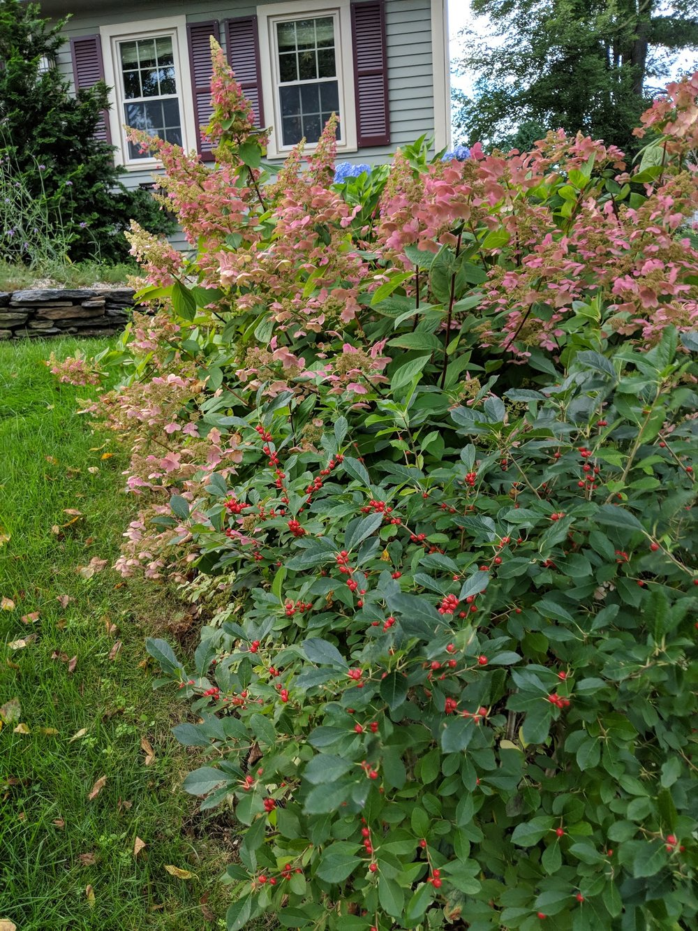 Winterberry with 'Quickfire' and 'Pinky Winky' hydrangea