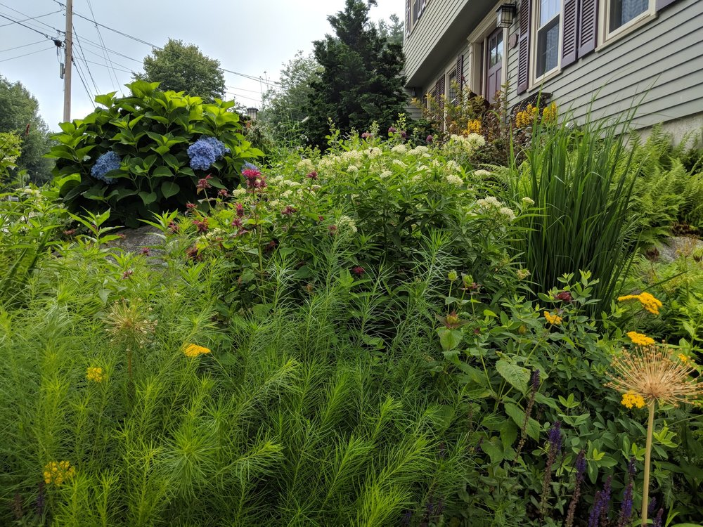 Asclepias Incarnata towers over the West Garden