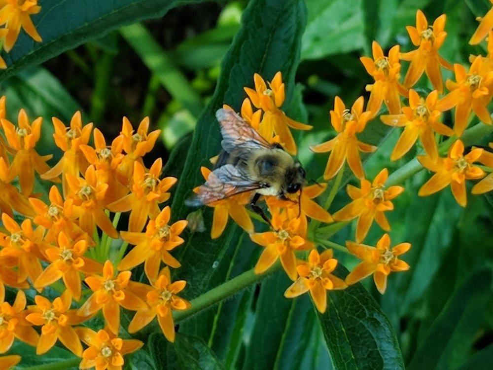 Asclepias tuberosa with native bumblebee