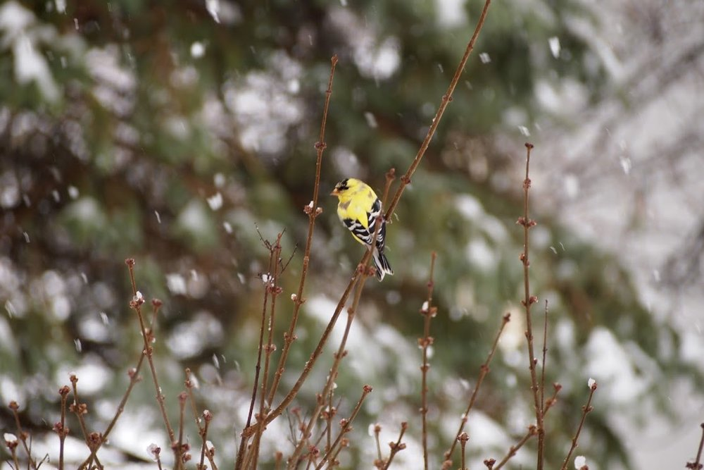 Goldfinch in April snowstorm