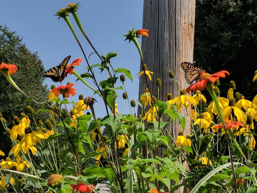 Swallowtail and monarch on tithonia