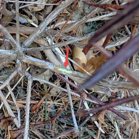 Rhody's green cambium proves it's still alive!