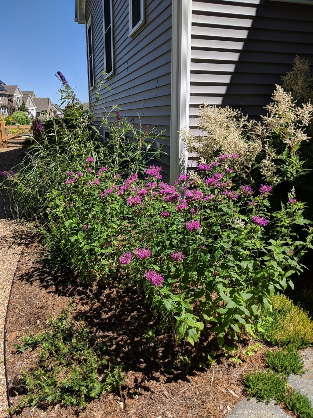 "Purple monarda and the massive white plumes of Persicaria 'polymorpha' anchor the back corner of the house and the ""ell"" created by the sun room."