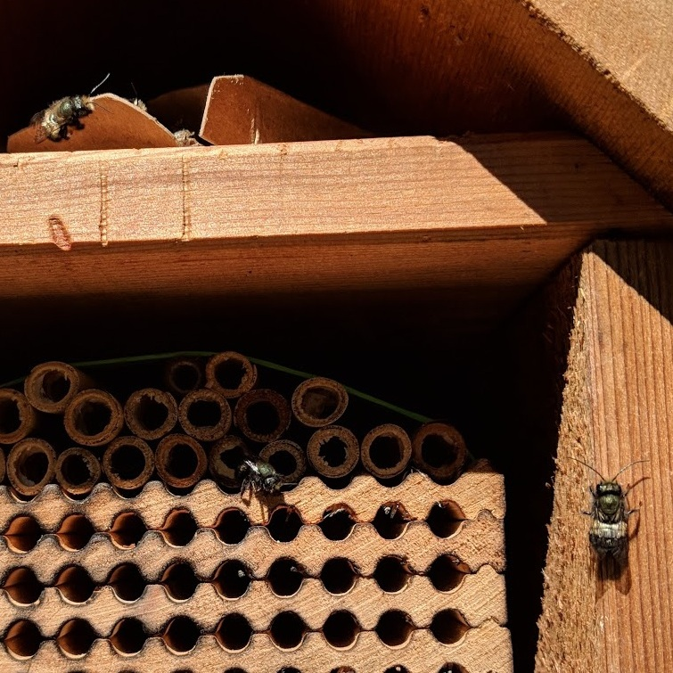 Mason bees emerge from their cocoons and warm in the sun