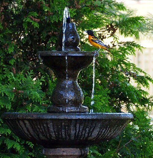 Male Baltimore Oriole enjoys fresh water from the bird fountain