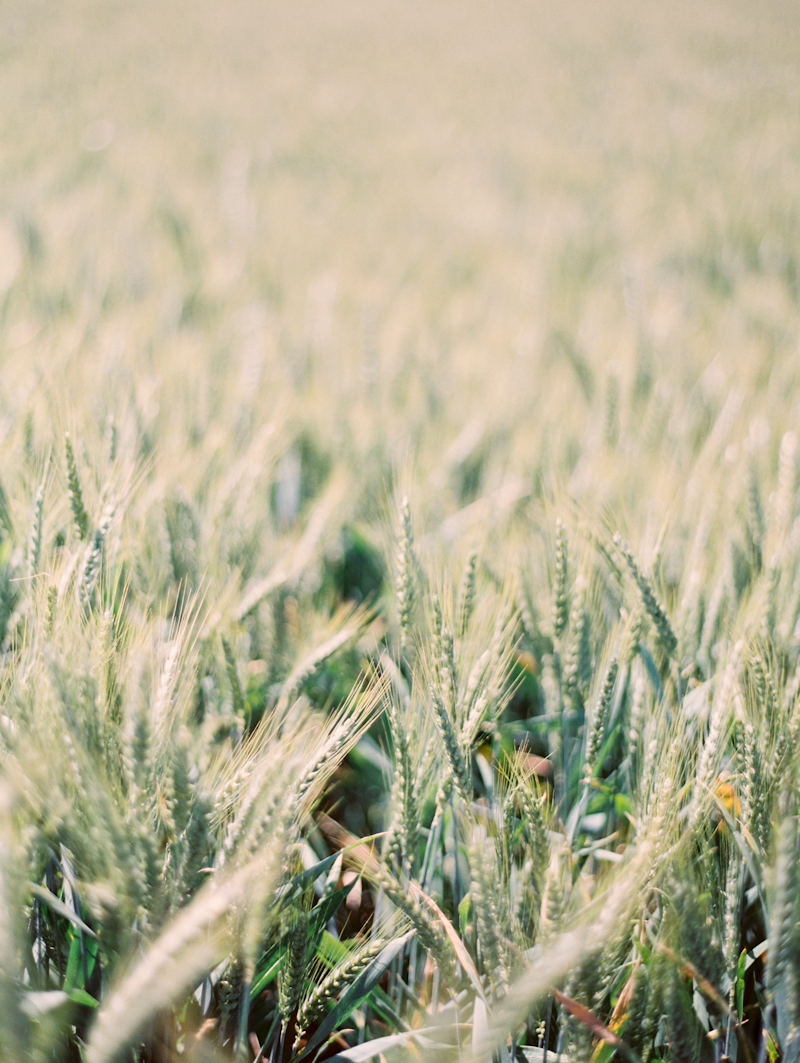 Linnea Paulina Photography, Film Wedding Photographer in Portland, Oregon.  Wheat Fields at Adelman Gardens, Oregon.