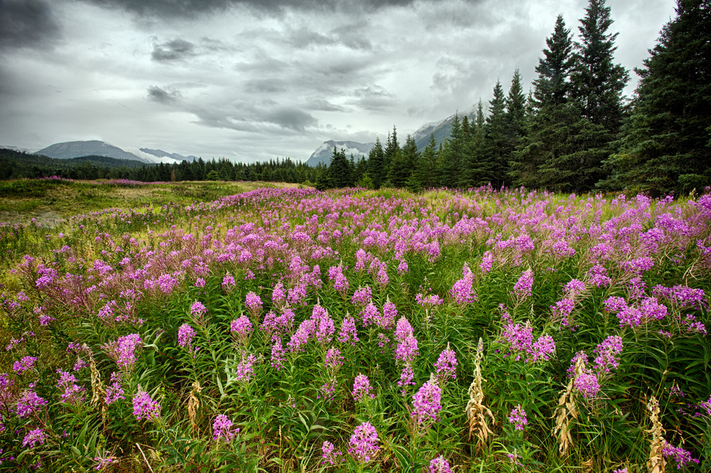 Fireweed in Kenai River, Alaska