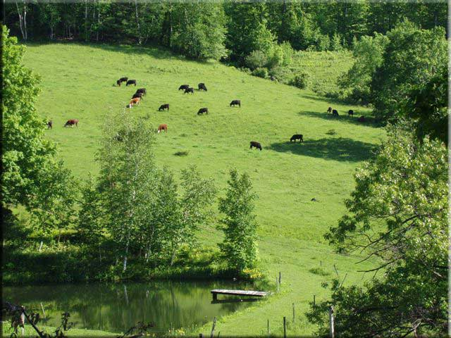 cows on pasture, grassfed, grass-finished, lewis waite farm