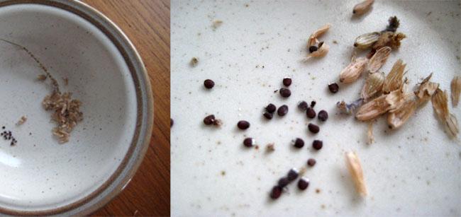seed saving, little seed farm, lavender seed