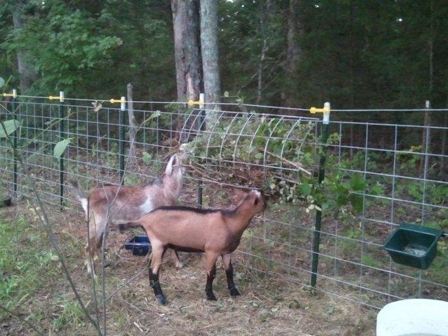 Goat Buck Pen The Finer Points Little Seed Farm