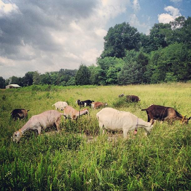grazing-goats.jpg